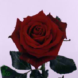 Rose passion 40cm (Small Headed)