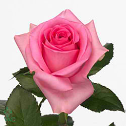 Rose rivival 40cm (Small-Headed)