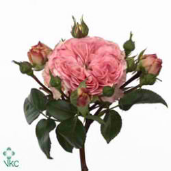 Rose Spray Maria Theresia