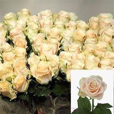 Rose Charmant 60cm Wholesale Dutch Flowers Amp Florist