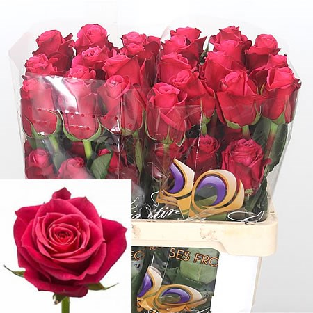Rose Cherry O (Ecuador) 50cm | Wholesale Dutch Flowers & Florist Supplies UK