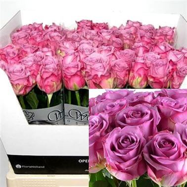Rose cool water 70cm