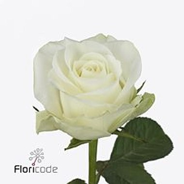 Rose Countdown 50cm Wholesale Dutch Flowers Amp Florist
