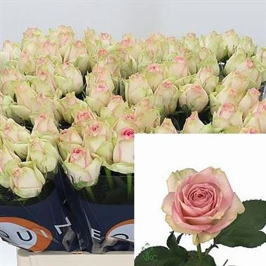 ROSE ESPERANCE 40CM (SMALL HEADED)