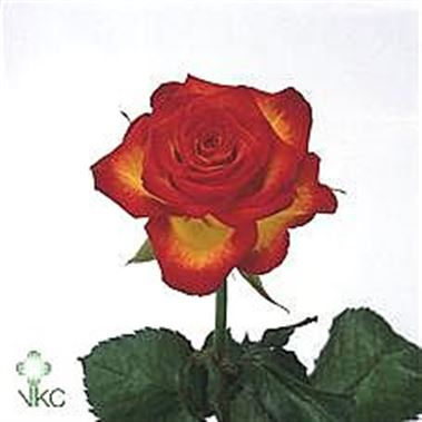 6be3c680510c Rose High Society 60cm
