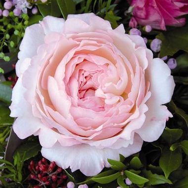 Rose Keira By David Austin David Austin Garden Roses Triangle Nursery