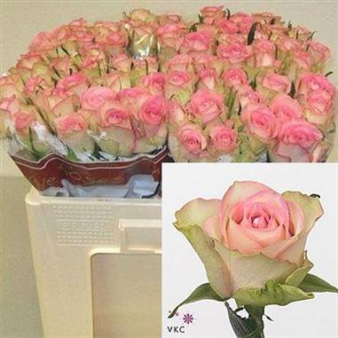 Rose Lovely Jewel 70cm Wholesale Flowers Florist Supplies Uk