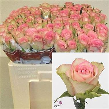 Rose lovely jewel 40cm (Small Headed)