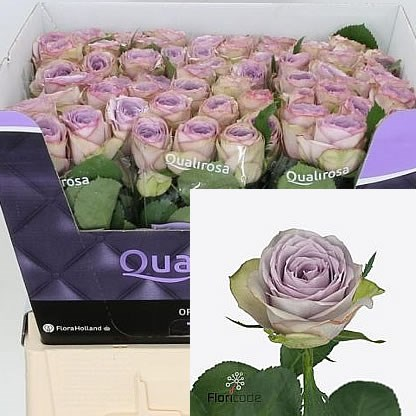 Rose Lullaby 50cm Wholesale Dutch Flowers Amp Florist