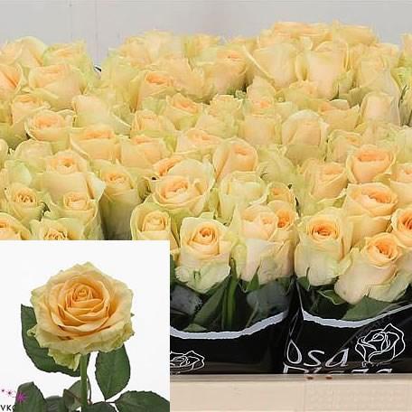 Rose Magic Avalanche 40cm Wholesale Dutch Flowers Amp Florist Supplies Uk