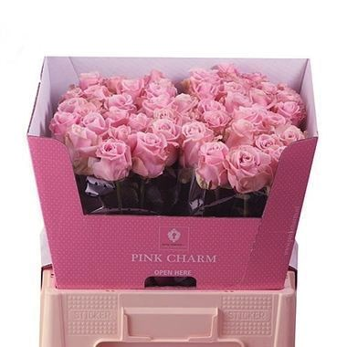 Rose Avalanche Pink