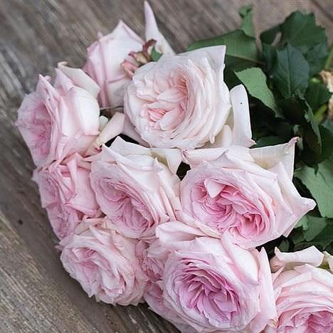 Garden Rose Pink O\u0027Hara 45cm