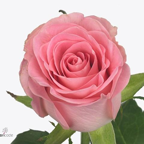 Rose Seductive 70cm Wholesale Dutch Flowers Amp Florist