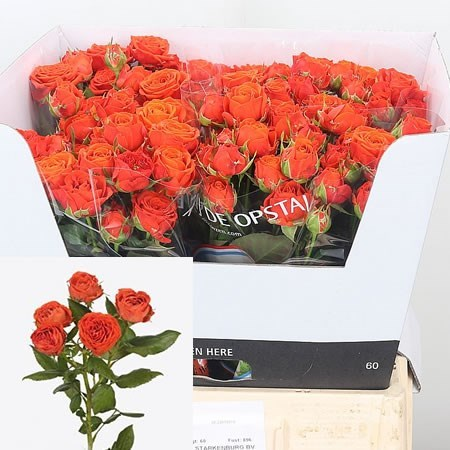 Rose Spray Amata