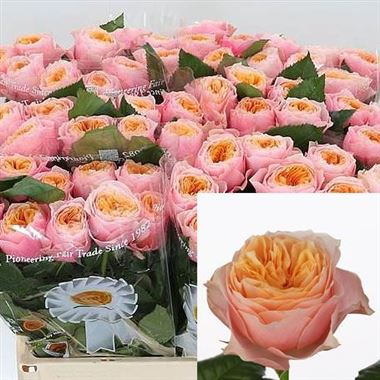 Rose Vuvuzela 50cm Wholesale Flowers Florist Supplies Uk