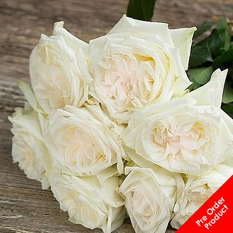 Beautiful Rose White Ou0027Hara (White/Blush Pink) Photo