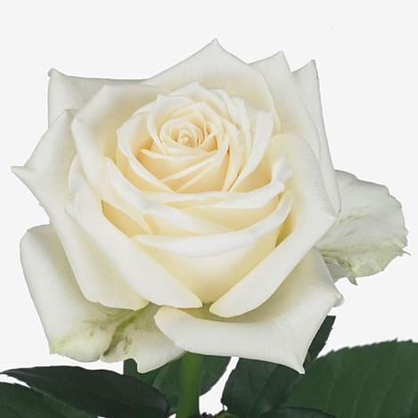 Rose White Soda 70cm Wholesale Dutch Flowers Amp Florist Supplies Uk