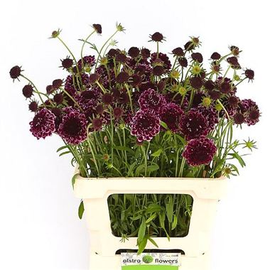 Scabious Picasso Deep Red