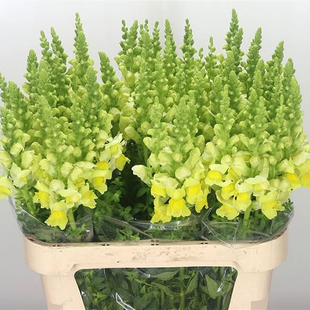 Snapdragon Admiral Yellow