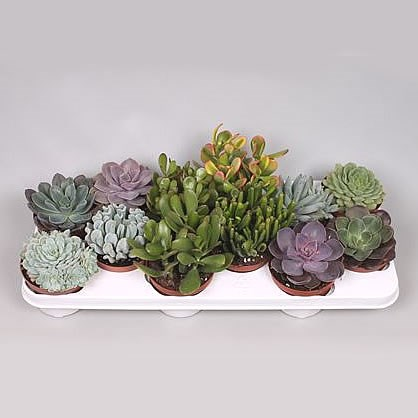 Succulent Plants Winco Mix (12s)