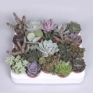 Succulent Plants Winco Mix (20s)