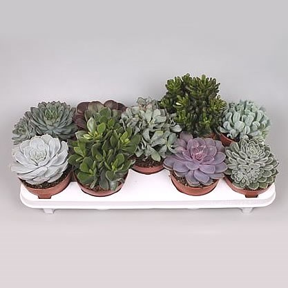 Succulent Plants Winco Mix (9s)