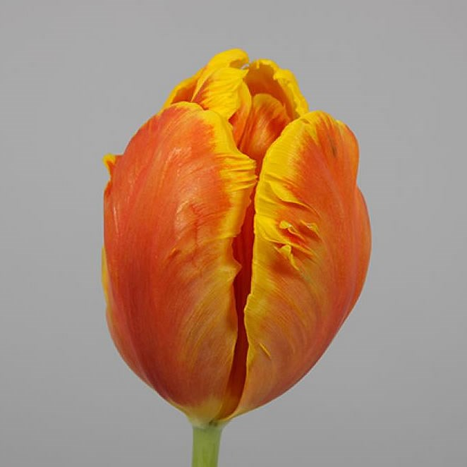 Tulips Bright Parrot