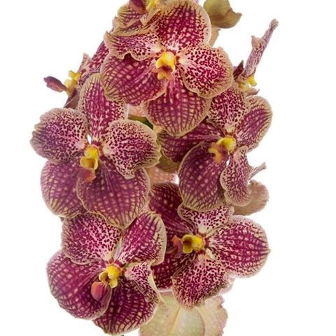 VANDA ORCHID - SUNANDA RETRO RED