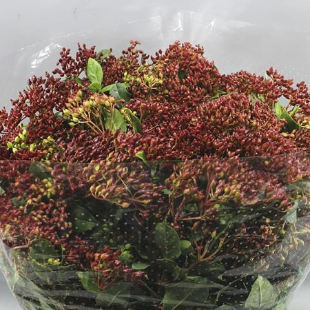VIBURNUM RED