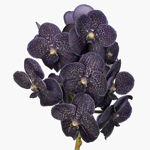 Vanda Orchid - sunanda midnight black