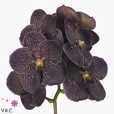 Vanda Orchid Sunanda Dark Chocolate brown
