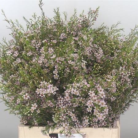 WAXFLOWER ORCHID