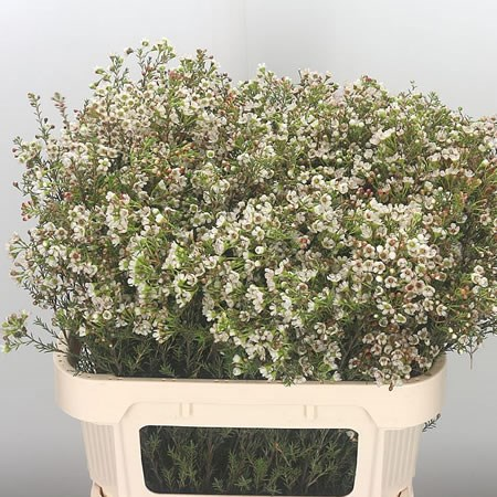 Waxflower Blondie (Extra)
