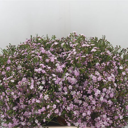 Waxflower Dancing Queen