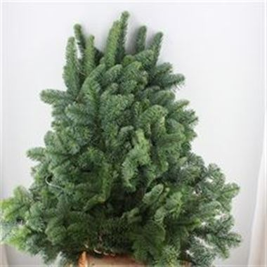 Blue Spruce 5kg (White Band)