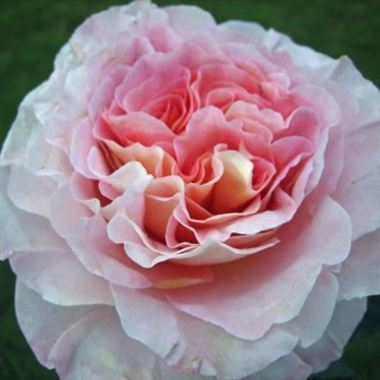 rose augusta luise colombian garden roses alexandra. Black Bedroom Furniture Sets. Home Design Ideas