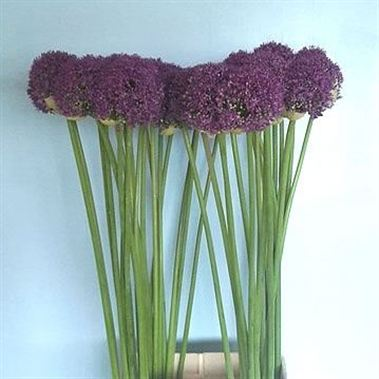 Allium Ambassador Wholesale Flowers Florist Supplies Uk