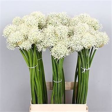 Allium mount everest 85cm