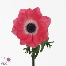 Anemone mistral shocking pink 35cm wholesale dutch flowers anemone mistral shocking pink mightylinksfo