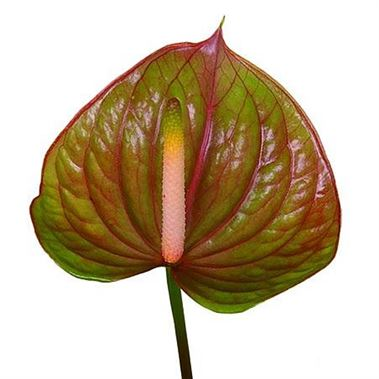 Anthurium Exquisite Queen x 16