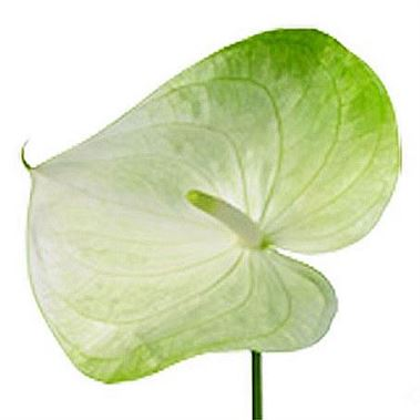 Anthurium Grace x 12