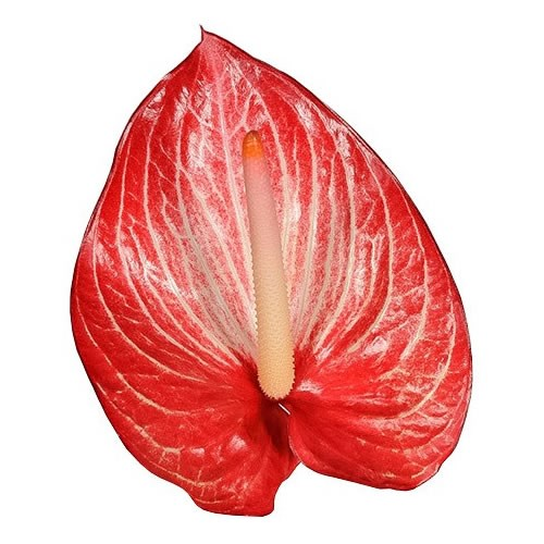 ANTHURIUM SINGITA X 12
