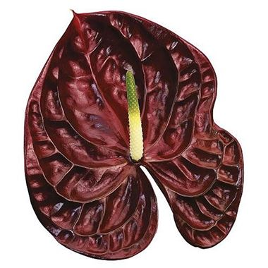 Anthurium Tropic Night x 12