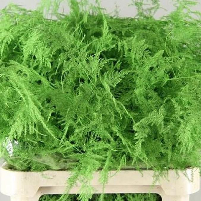 Asparagus Fern Dyed Green 80cm Wholesale Dutch Flowers Florist