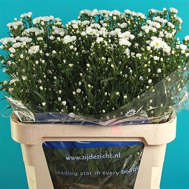 Aster linda casablanca wholesale flowers uk wedding flowers aster linda casablanca mightylinksfo