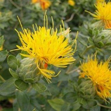 Carthamus summersun yellow wholesale flowers uk wedding flowers carthamus summersun yellow mightylinksfo