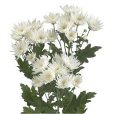 Chrysanthemums Anastasia White Wholesale Flowers