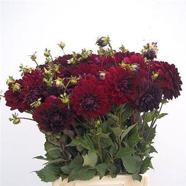 dahlia arabian night 50cm wholesale flowers florist. Black Bedroom Furniture Sets. Home Design Ideas
