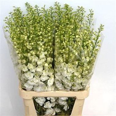 Delphinium elatum candle white shades wholesale flowers uk delphinium du candle white shades mightylinksfo