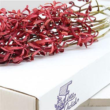 Dendrobium Orchid James Story 60cm Wholesale Dutch